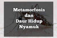 metamorfosis nyamuk