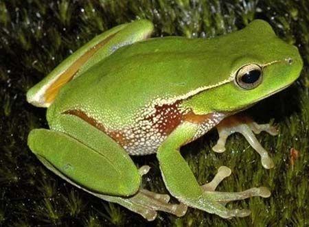 siklus hidup katak