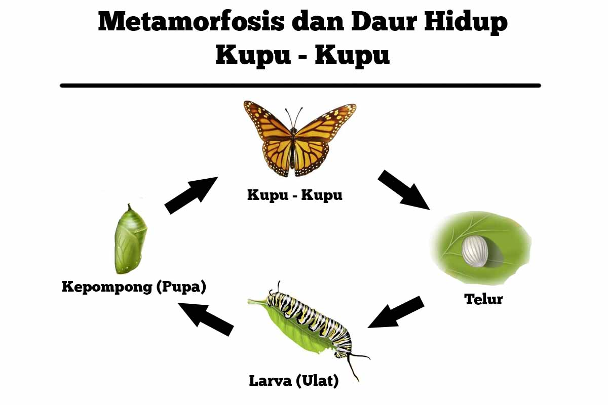 metamorfosis kupu kupu