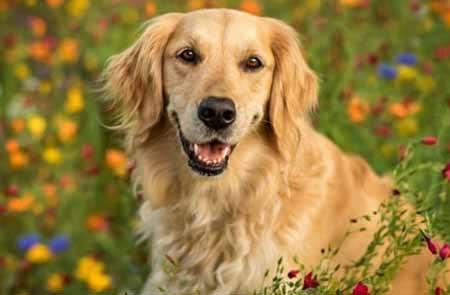 siklus hidup anjing