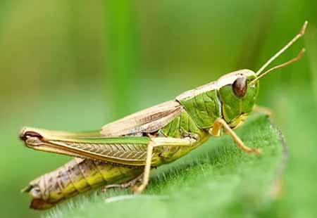 siklus hidup belalang
