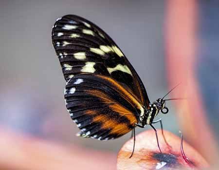 siklus hidup kupu kupu