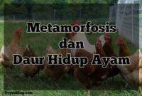 metamorfosis ayam