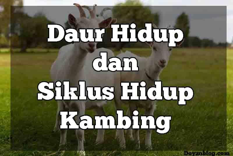 siklus hidup kambing