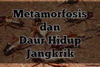 metamorfosis jangkrik