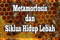 siklus hidup lebah
